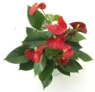 oilcloth-indoor-flowering-plant