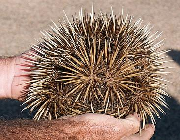 spikey-ant-eater-echidna
