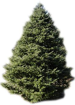 fraser-fir-real-live-christmas-tree
